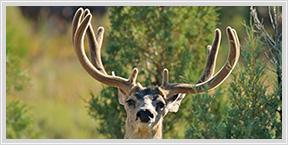 mule deer pictures