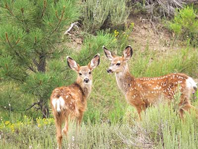 mule-deer-facts